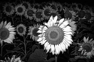 Sunflowers Photograph - Black And White Sunflowers by Tod and Cynthia Grubbs
