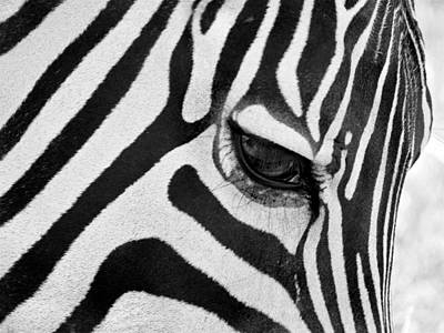 Black And White Zebra Close Up Print by Pierre Leclerc Photography