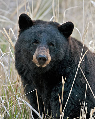 Yellowstone Photograph - Black Bear Closeup by Gary Langley