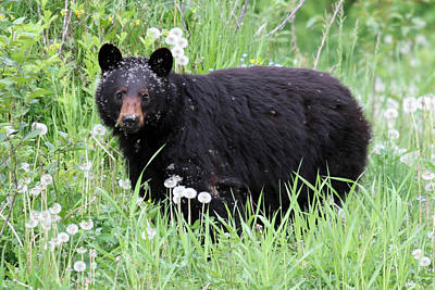 Black Bear In The Dandelion Whistler Print by Pierre Leclerc Photography