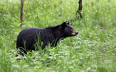 Black Bear In The Woods Print by Andrea Silies