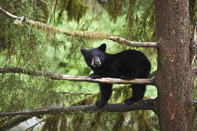Cute Tree Images Photograph - Black Bear Ursus Americanus Cub In Tree by Matthias Breiter