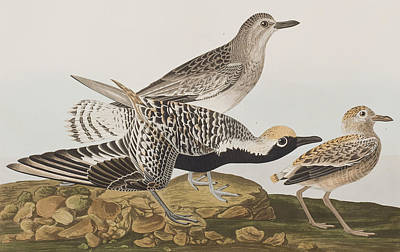 Plovers Painting - Black Bellied Plover by John James Audubon