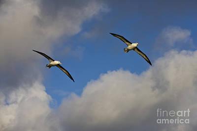 Black-browed Albatrosses Print by Jean-Louis Klein & Marie-Luce Hubert