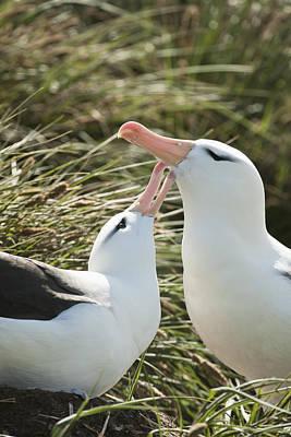 Black-browed Albatrosses  Thalassarche Print by Daisy Gilardini