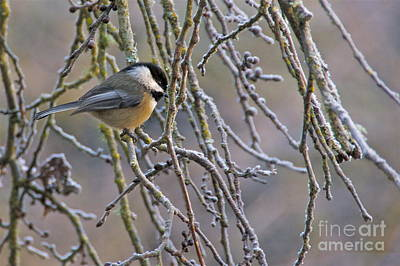 Sean Photograph - Black-capped Chickadee by Sean Griffin