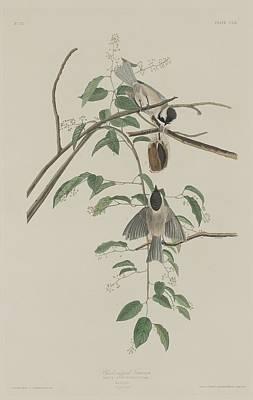 Black-capped Drawing - Black-capped Titmouse by John James Audubon