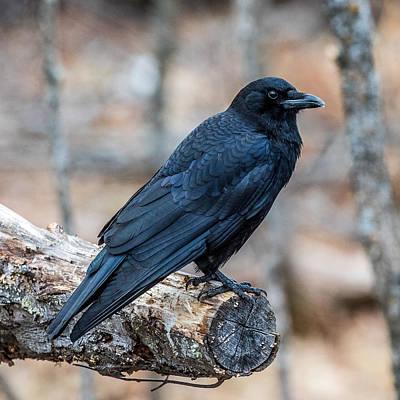 American Crow Photograph - Black Crow by Paul Freidlund