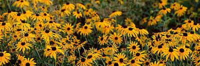 Black-eyed Susan Rudbeckia Hirta Print by Panoramic Images