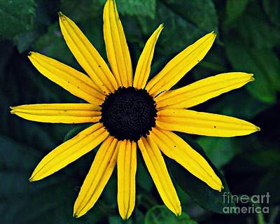 Black-eyed Susan Print by Sarah Loft