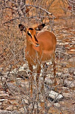 Animals Photograph - Black Faced Impala by Stacie Gary