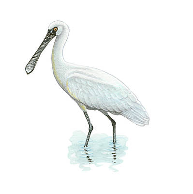 Spoonbill Drawing - Black-faced Spoonbill by Lionel Portier