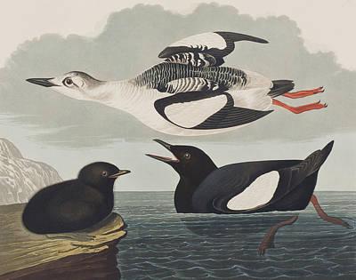 Black Guillemot Print by John James Audubon