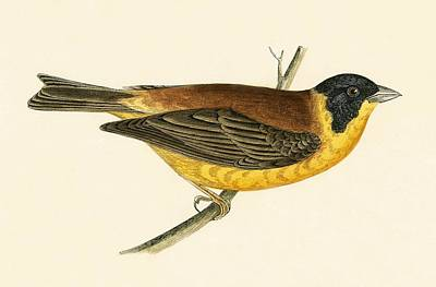 Black Headed Bunting Print by English School