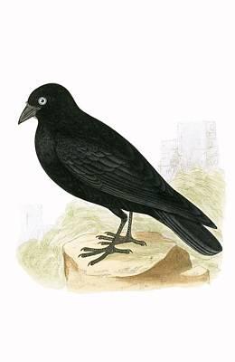 Black Jackdaw Print by English School