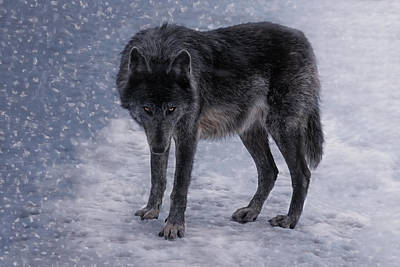 Black. Timber Wolf Photograph - Black She-wolf by Joachim G Pinkawa