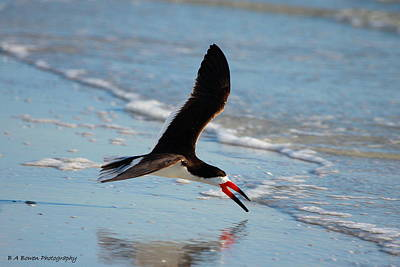Razorbill Photograph - Black Skimmer by Barbara Bowen