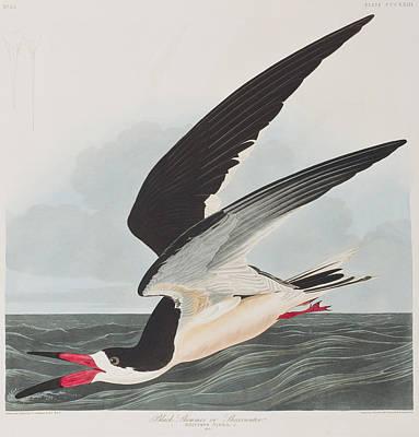 Feeding Drawing - Black Skimmer Or Shearwater by John James Audubon