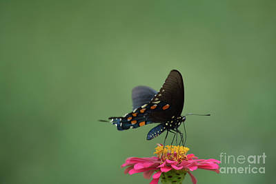 Black Swallowtail Butterfly 3 Print by Ruth Housley