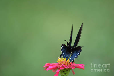 Black Swallowtail Butterfly 4 Print by Ruth Housley