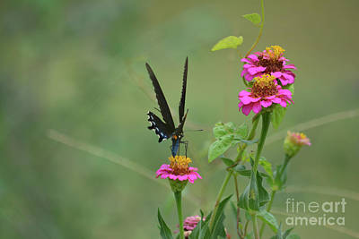 Black Swallowtail Butterfly 5 Print by Ruth Housley