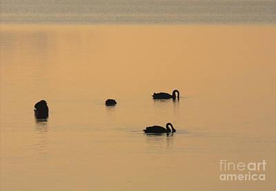 Swan Photograph - Black Swan Dawn by Mike Dawson