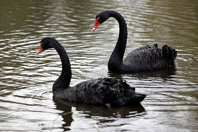 Black Swans Print by Denise Swanson