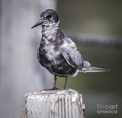 Wildlife Photograph - Black Tern  by Ricky L Jones