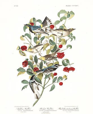 Warbler Painting - Black Throated Gray Warbler by John Audubon