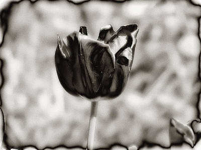 Tulips Digital Art - Black Tulip by Bill Cannon