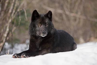 Black Wolf Print by John Hyde - Printscapes