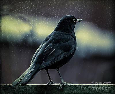 Rain Digital Art - Blackbird by Adrian Evans
