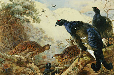 Pheasant Painting - Blackgame Or Black Grouse by Archibald Thorburn