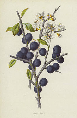 Fruits Drawing - Blackthorn by Frederick Edward Hulme