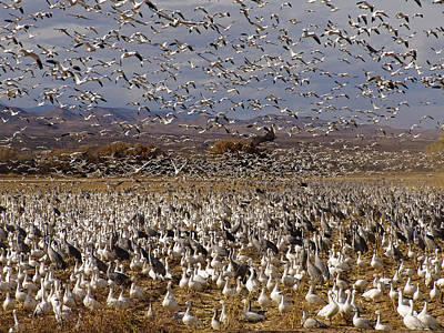 Bird Photograph - Blast Off Bosque Del Apache by Kurt Van Wagner