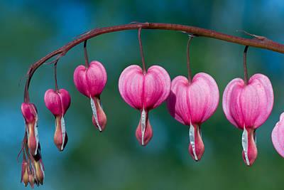 Flower Photograph - Bleeding Hearts by Lise-Lotte Larsson
