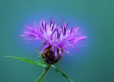 Photograph - Cornflower. by Daniel Furon