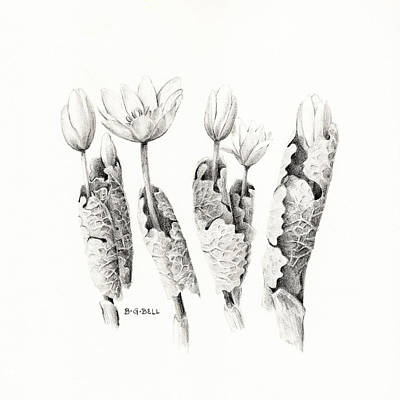 Betsy Bell Drawing - Bloodroot Group by Betsy Gray