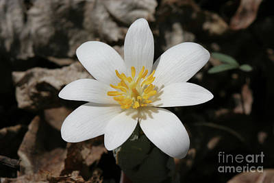 Flower Photograph - Bloodroot by Judy Whitton