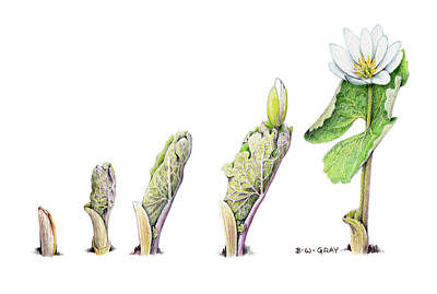 Betsy Bell Drawing - Bloodroot Unfolding II by Betsy Gray