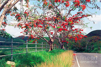 Flamboyan Photograph - Blooming Flamboyan Trees Along A Country Road by George Oze