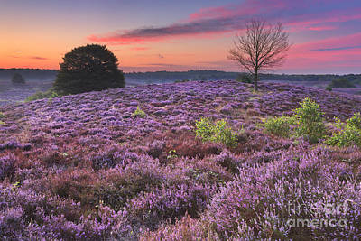 Heather Photograph - Blooming Heather At Dawn At The Posbank, The Netherlands by Sara Winter