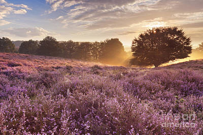 Heather Photograph - Blooming Heather At Sunrise At The Posbank In The Netherlands by Sara Winter