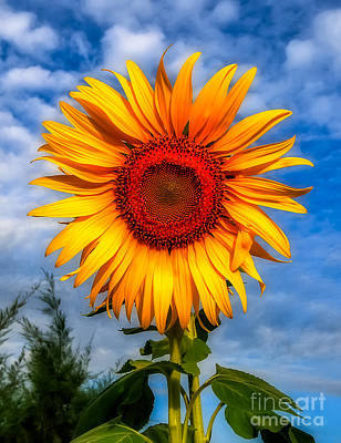 Blooming Sunflower  Print by Adrian Evans