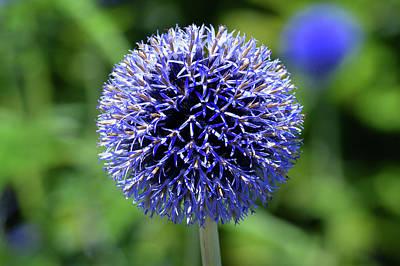 Blue Allium Original by Terence Davis