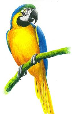 St. Lucia Parrot Painting - Blue And Gold Macaw by Christopher Cox