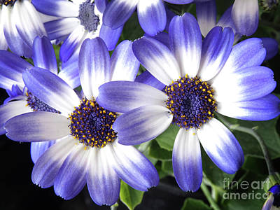Blue Bi-color Pericallis Senetti Print by Dorothy Lee