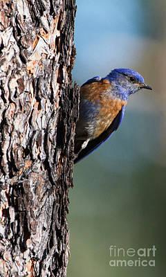 Blue Bird In A Tree Print by Ruth Jolly
