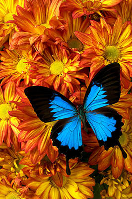Blue Butterfly On Mums Print by Garry Gay