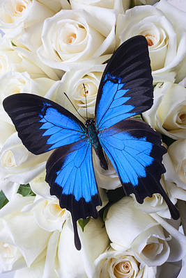 Blue Butterfly On White Roses Print by Garry Gay